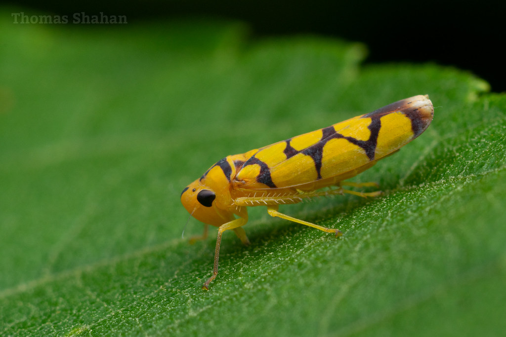 Leafhopper - Ecuador