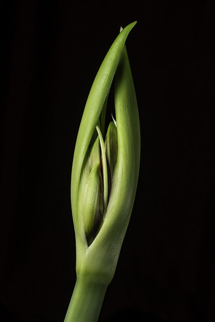 Amaryllis Bud In The Light