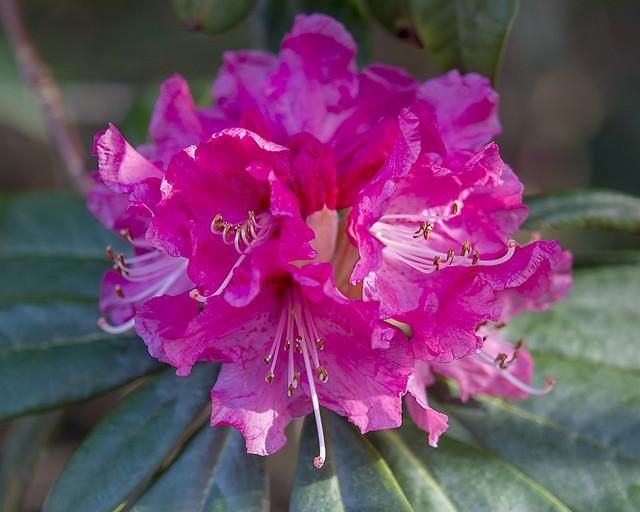 Rhododendron nobleanum 'Coccineum'