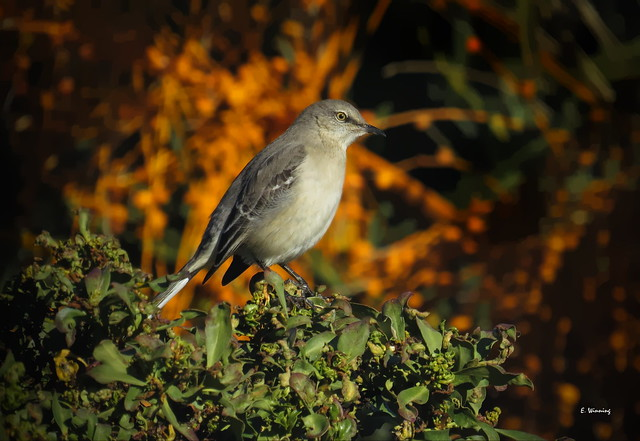 Northern Mockingbird on a Salt Bush 8943
