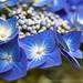 Blue Hydrangea (II), 7.7.15