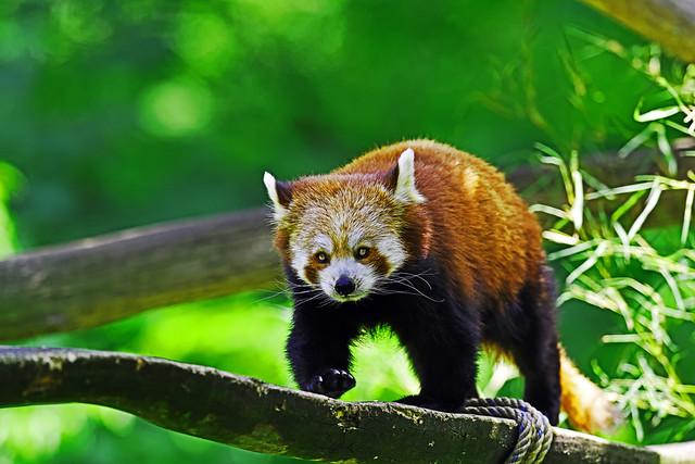 Roter Panda - ungläubiges Staunen über 20.000 EUR!
