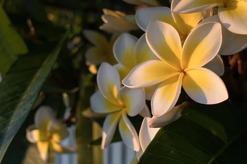 pentax kp smcpentaxda21mmf32limited 21in21 plant flower sunrise frangipani plumeria goldenhour adamstown newcastle australia pentaxart