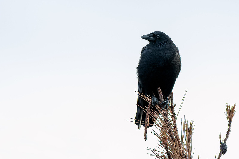 American Crow in a tree at Barnegat Lighthouse State Park