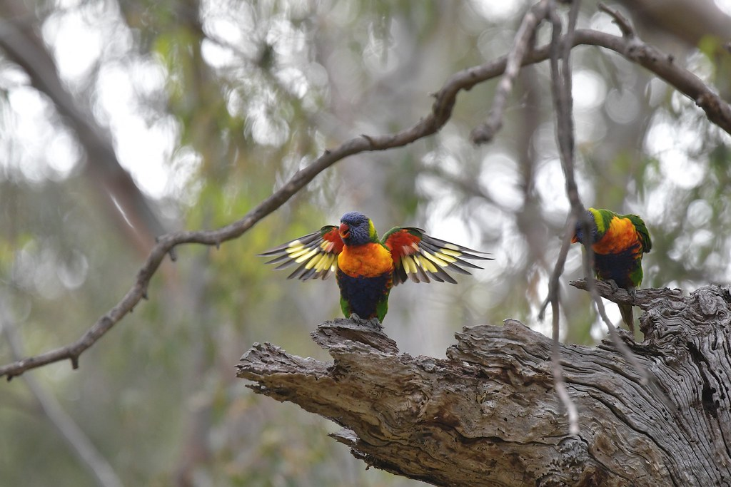 Rainbow Lorikeets ( all busy )