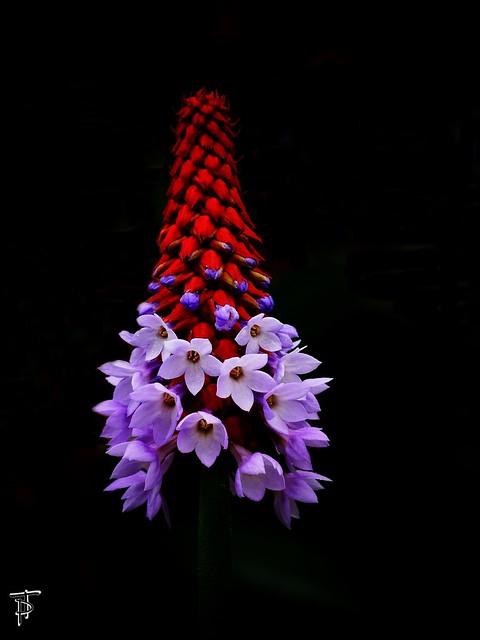 Orchideen-Primel ( Primula Viallis )