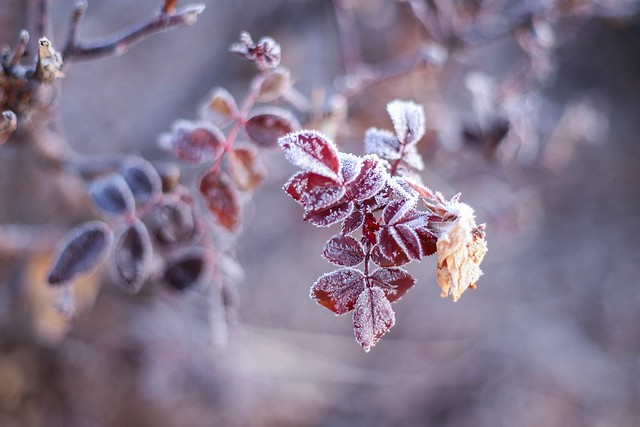 frosty rose leaves (Explored)