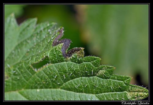 Agromyza reptans/pseudoreptans mine on Urtica dioica