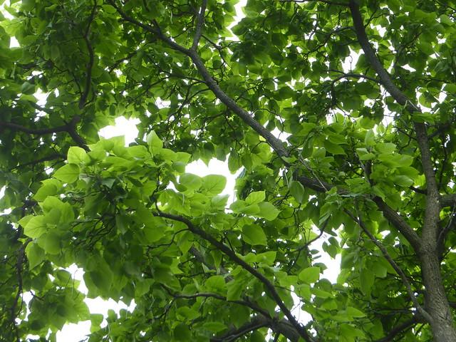 Wheaton, IL, Illinois Prairie Path, Tree Leaves