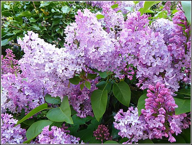 Lilac Shrub ...