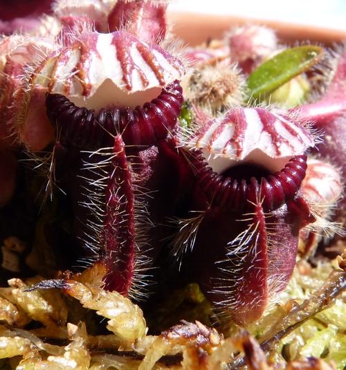 Cephalotus follicularis 50858785122_fcd9c96b8f_o