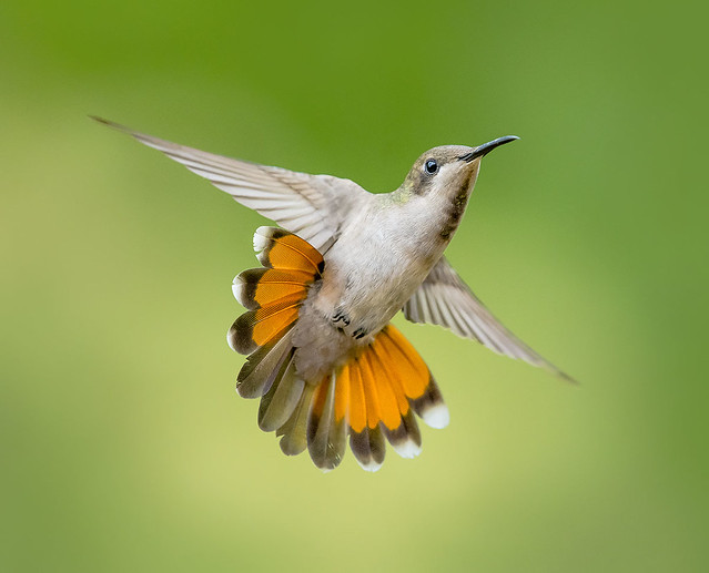 Ruby Topaz Hummingbird, @esperanzaAlta, Trinidad.