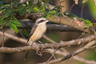 Brown Shrike | by steve happ