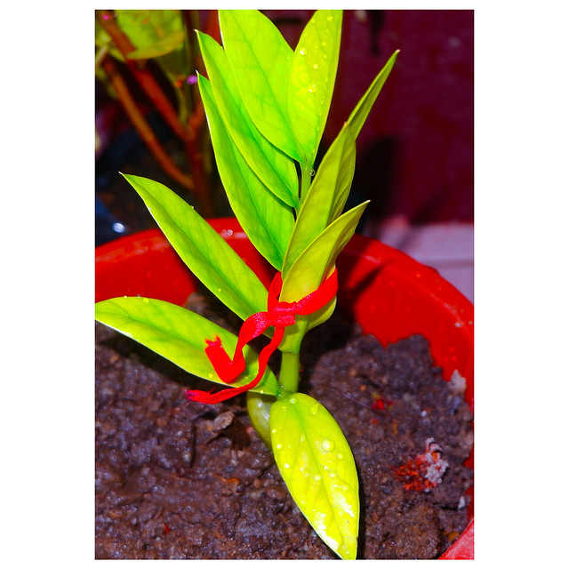 Welcome Plant