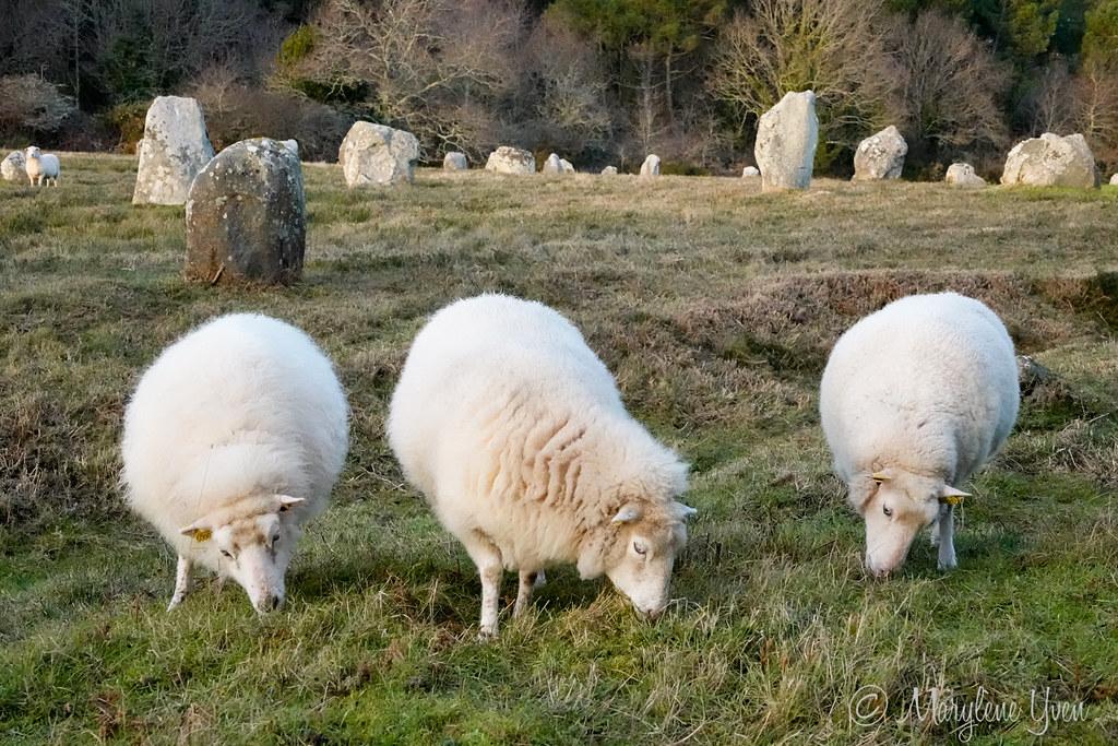 moutons dans les menhirs à Carnac
