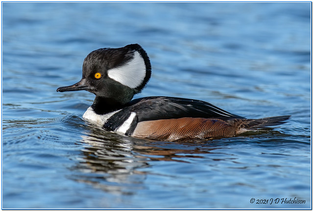 Hooded-Merganser-Drake-Esq-2021-Jan