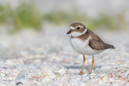 sanibel plover semipalmatedplover shorebird bird tiny small sand shells avian nature wildlife animal nikon d500