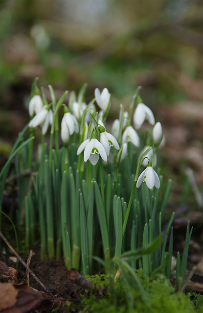 Lots of winter Snowdrops...