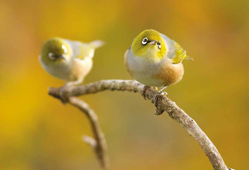 Distant autumn leaves provide a colourful backdrop for a pair of silvereyes in my backyard. From Getting Closer: Paul Sorrell's Best Tips for Photographing Birds In Your Own Backyard