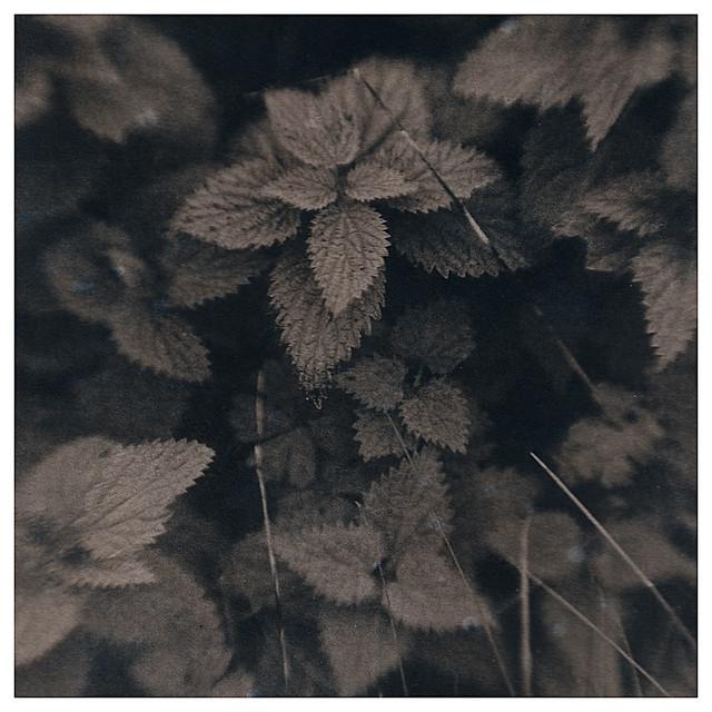 Urtica dioica (Nettle)