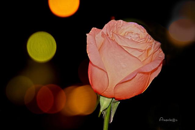 21_Una rosa en mi balcón