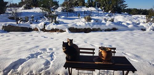 Nieve gatas