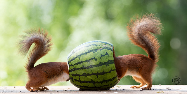 red squirrels walking through an watermelon