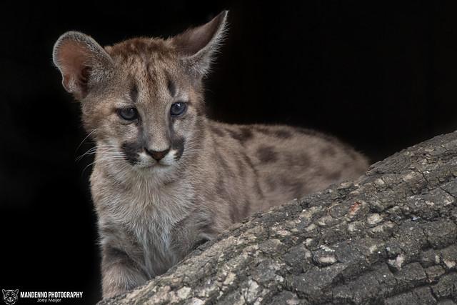 Puma Cub - Olmense Zoo/Pakawi Park - Belgium