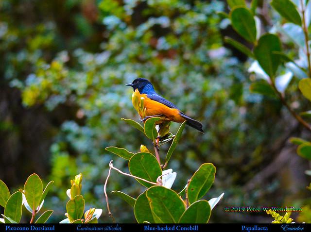 BLUE-BACKED CONEBILL Conirostrum sitticolor in a Treetop at Papallacta in Northern Ecuador. Photo by Peter Wendelken.