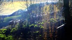 St-Roch (Basse vallée de Campan, Occitanie, Fr.) – Chemin de Paluas, pastoralisme