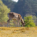 Deer | Damhert