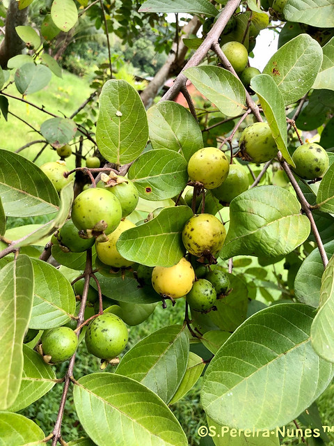 Wild Savannah Guava, Goiaba, Brokopondo, Suriname