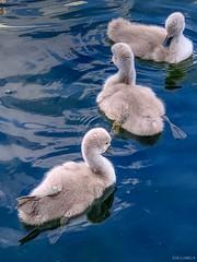 Mute swan (Cygnus olor)// Cisne blanco o mudo.