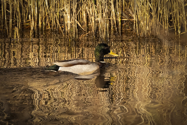Mallard with reflections in water...CE1A0091CR3A
