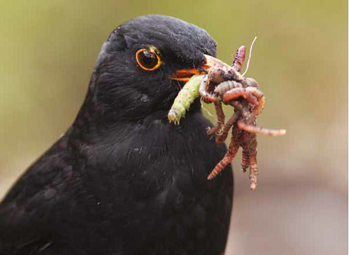 This blackbird collected many beakfuls of worms and insects for its young as I spread compost on my vegetable plot. From Getting Closer: Paul Sorrell's Best Tips for Photographing Birds In Your Own Backyard