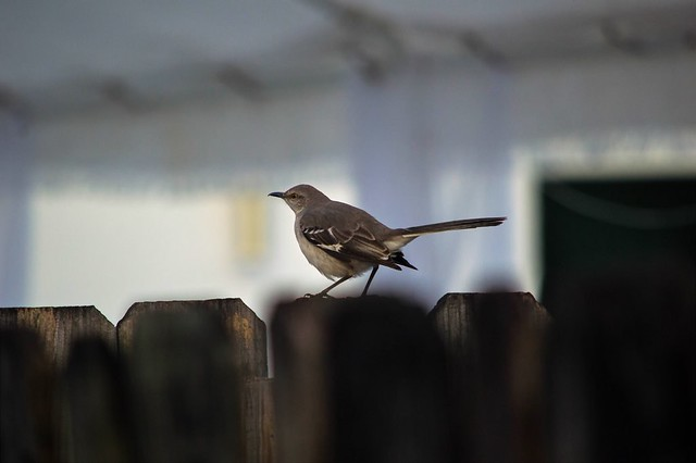Mockingbird Moment