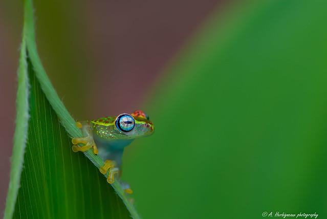 Boophis tasymena est une espèce d'amphibiens arboricole endémique de Madagascar. Boophis tasymena is a species of frogs in the family Mantellidae endemic to Madagascar.