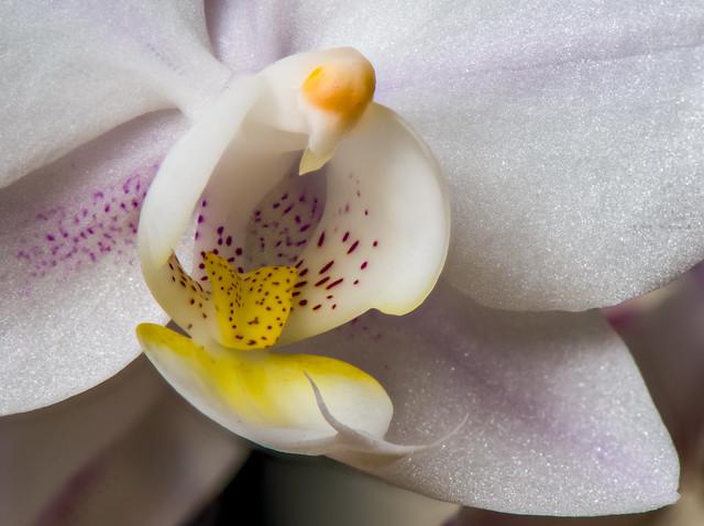 Snail Orchid-12