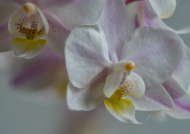 Snail Orchid-15
