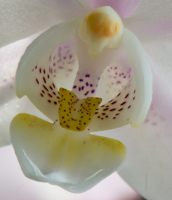 Snail Orchid-13