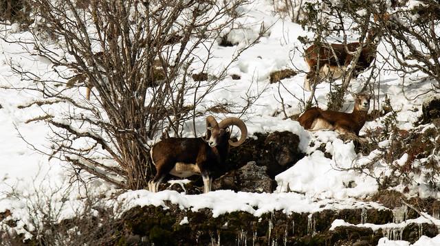 Mouflons Cantal !