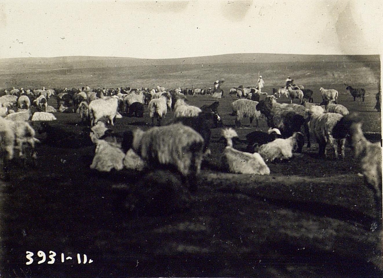 Отделение ягнят от стада (женщины выносят ягнят на руках)