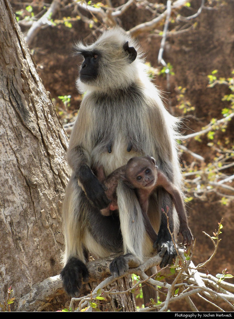 Gray langur with a baby, Jaipur, India
