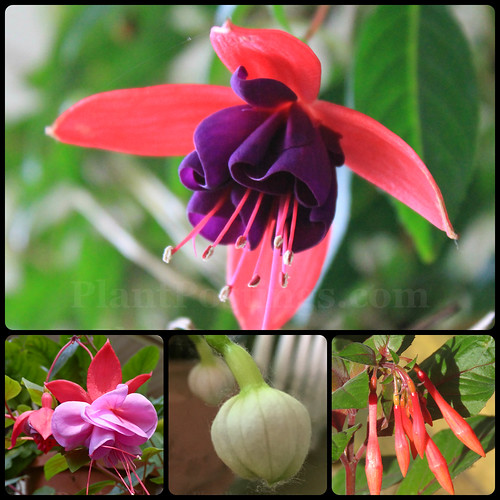fuchsia collage