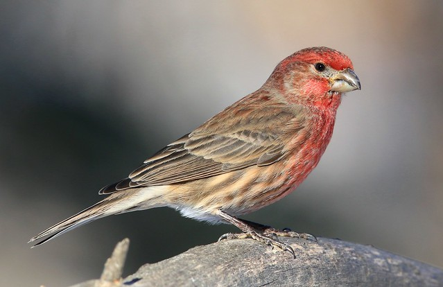 house finch male at Lake Meyer Park IA 653A9404