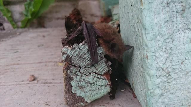 The bat / Летучая мышь