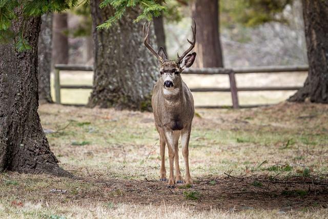 Buck #2