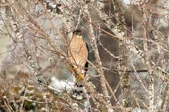 Sharp Shinned Hawk (adult)