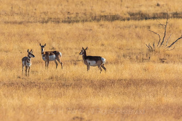 Pronghorns at Steens Mountain