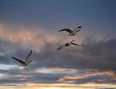 Canada Geese Leaving for a Night's Rest